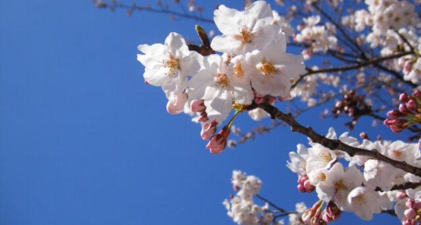 event image for Cherry Blossom Origami